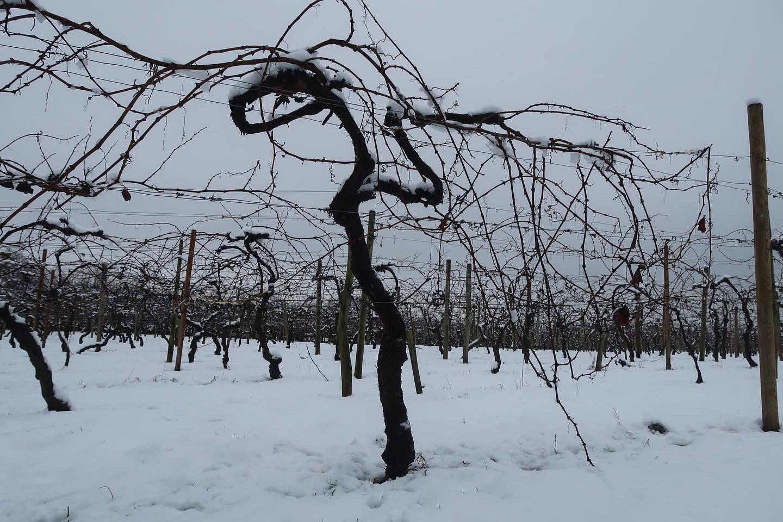 Astley Vineyard - organic