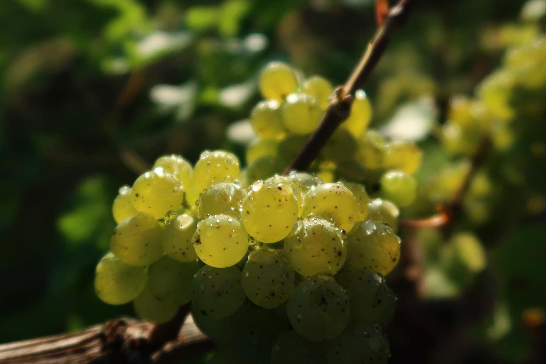 Astley Vineyard - Kerner